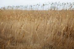 Fält med gula öron mot cloudly en himmel arkivbilder