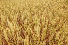 Fält med guld- moget vete Arkivfoto