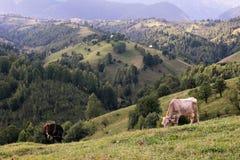 Fält med kor på överkanten av bergen Arkivfoto