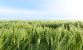 Fält med korn Arkivfoton