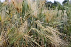 Fält med korn på utkanten av byn Arkivfoto