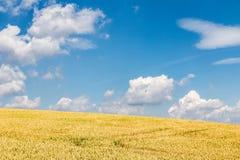 Fält med kornhavre och fantastisk blå himmel Arkivbild