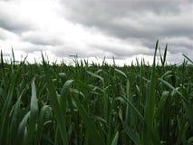 fält med kornskörden för grönt gräs för stormen och regnet Arkivbild