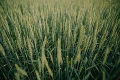 Fält med landskapsommar för gröna skördar Arkivbilder
