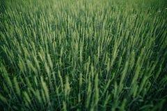 Fält med landskapsommar för gröna skördar Royaltyfri Fotografi