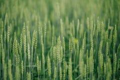 Fält med landskapsommar för gröna skördar Arkivfoton