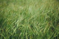 Fält med landskapsommar för gröna skördar Arkivbild