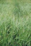 Fält med landskapsommar för gröna skördar Royaltyfri Bild