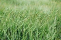 Fält med landskapsommar för gröna skördar Arkivfoto