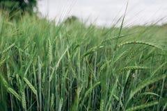 Fält med landskapsommar för gröna skördar Royaltyfria Bilder