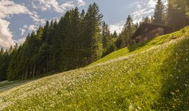 Fält med många vit pingstlilja, Styria, Österrike Arkivfoto