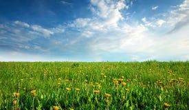 Fält med maskrosor och blå himmel Fotografering för Bildbyråer
