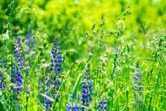 Fält med purpurfärgade lupine blommor slapp fokus mot bakgrund field bl?a oklarheter f?r gr?n vitt wispy natursky f?r gr?s arkivbild