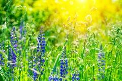 Fält med purpurfärgade lupine blommor med solstrålar slapp fokus mot bakgrund field bl?a oklarheter f?r gr?n vitt wispy natursky  arkivfoto