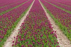 Fält med purpurfärgade tulpan i Holland Arkivfoto