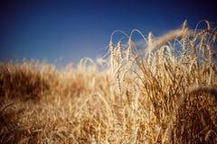 Fält med råg Fotografering för Bildbyråer