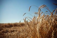 Fält med råg Arkivfoto