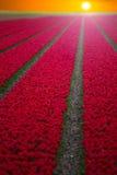 Fält med röda tulpan i Royaltyfria Foton