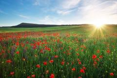 Fält med röda vallmo, färgrika blommor mot solnedgången Arkivfoto