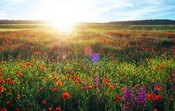 Fält med röda vallmo, färgrika blommor mot solnedgången Royaltyfri Foto