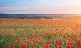Fält med röda vallmo, färgrika blommor mot solnedgången Royaltyfri Fotografi