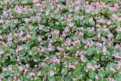 Fält med små begoniarosa färgblommor, trädgårds- buske, familjBegoniaceae, slut upp Royaltyfri Fotografi