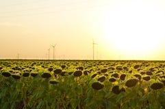 Fält med solrosen Arkivfoto