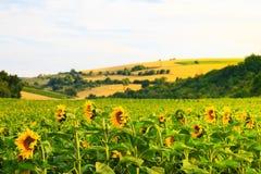 Fält med solrosor och vete Royaltyfri Bild