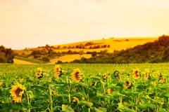 Fält med solrosor och vete Arkivfoto