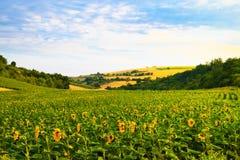 Fält med solrosor och vete Royaltyfria Bilder