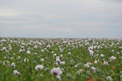 Fält med trevliga blommor Fotografering för Bildbyråer