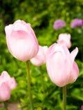 Fält med tulpan på soluppgång i våren, tulpan för kvinnor, röda, gula vita tulpan i trädgård på en solig dag Arkivfoton
