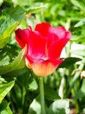 Fält med tulpan på soluppgång i våren, tulpan för kvinnor, röda, gula vita tulpan i trädgård på en solig dag Royaltyfri Bild