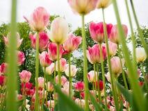 Fält med tulpan på soluppgång i våren, tulpan för kvinnor, röda, gula vita tulpan i trädgård på en solig dag Arkivfoto