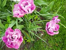 Fält med tulpan på soluppgång i våren, tulpan för kvinnor, röda, gula vita tulpan i trädgård på en solig dag Royaltyfri Foto