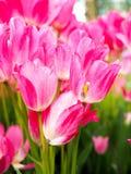 Fält med tulpan på soluppgång i våren, tulpan för kvinnor, röda, gula vita tulpan i trädgård på en solig dag Royaltyfria Foton