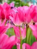 Fält med tulpan på soluppgång i våren, tulpan för kvinnor, röda, gula vita tulpan i trädgård på en solig dag Royaltyfri Fotografi