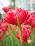 Fält med tulpan på soluppgång i våren, tulpan för kvinnor, röda, gula vita tulpan i trädgård på en solig dag Royaltyfria Bilder