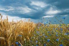 Fält med vete och blåklint Royaltyfria Foton