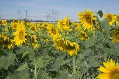 Fält mycket av helianthus annuusblommor i blom, ljusa gula blomma växter, grupp av solrosor royaltyfri foto