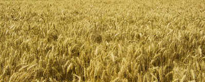 Fält mycket av korn Arkivfoton
