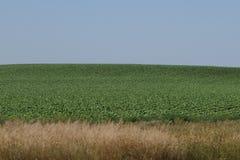 Fält Nebraska för grön havre Arkivbild