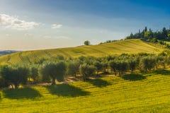 Fält och olivträd nära Pienza, Tuscany, Italien Arkivfoton