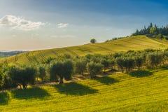 Fält och olivträd, Tuscany, Italien Arkivfoton