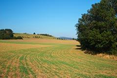 Fält rader som spirar korn Arkivbild