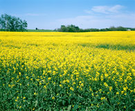 fält saskatchewan för Kanada canolalantgård Arkivbild
