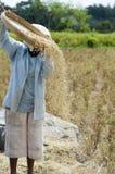 fält som skördar paddy Royaltyfri Foto