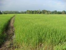 Fält som växer ris med nya gröna diken Arkivbild