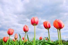 fält som växer romantiska tulpan Royaltyfri Bild
