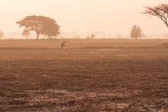 Fält under rissäsongen arkivbild